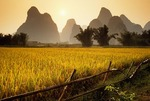Rice paddy near Yangshuo ready for harvest (Guilin area)