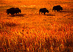 American buffalo (bison) in tall grass autumn pasture