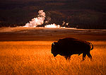 American buffalo bull (bison) in autumn pasture with steam from thermal vent in background