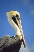 Brown Pelican in Florida Keys