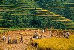 Farmers harvesting rice on Guizhou rice terraces in autumn, mountainous eastern part of province