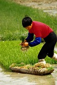 Spring rice transplanting in flooded paddy in southern Anhui province near Huangshan (Yellow Mountain)