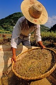 Autumn harvest ricewinnowing by local farmer in southern Anhui province