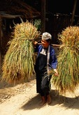 Dong woman carrying straw at harvest time near Congjiang in eastern Guizhou