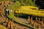 Guizhou rice harvest with bundled rice stalks on terraced paddy in eastern part of province in autumn  