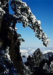 Huangshan pine overlooking Bei Hai (north sea of clouds) in winter, near Begin to Believe Peak