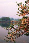 Hangzhou's West Lake in spring with trees in blossum along Su Causeway