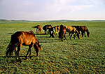 Mongol ponies grazing on the grasslands