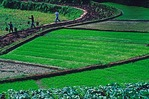 Paddy fields along Yangtze River in the Three Gorges