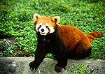 Chengdu Zoo lesser panda