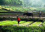 Sichuan farm couple planting rice in springtime in padd near Dazu