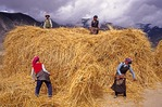 Lhasa valley Tibetan women farmers pitching straw during autumn barley harvest