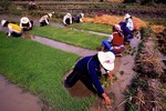 Women farmers transplanting rice in spring near Dali
