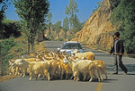 Shanxi farmer herding goats across road near Yellow River (Huang He)