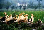 Ducks on Chinese farm