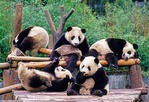Wolong Nature Reserve's five one-year old giant pandas
