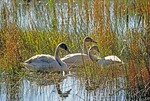 Swans in Michigan's Seney wildlife refuge