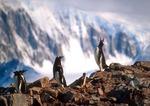 Gentoo penguins on Antarctic Peninsula at Neko Harbor