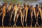Camels lined up at feed trough in government camel breeding station