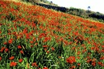 Santorini field of wild poppies