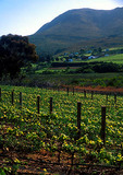Winelands vinyard near Simonsberg mountains