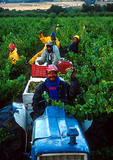Winelands harvest crew picking grapes in vinyards of the Warwick winery near Stellenbosch  