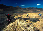Basotho women winnowing wheat on the high mountain plateau near Semonkong
