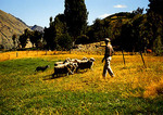 New Zealand border collie herding sheep at the Walter Peak Sheep Station