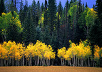 Arizona's Kaibab National Forest in autumn, yellow aspens and evergreens, near north rim of Grand Canyon