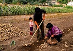 Hebei farm family with one child digging crop of potatoes