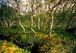 Iceland's Jokulsargljufur National Park forest