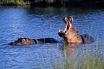 Hippos in pool in Sabi Sands area private reserve near Kruger National Park