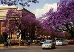 Jacaranda trees in spring in Pretoria South Africa