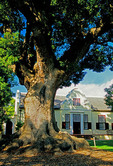 Vergelegen Estate manor house and Chinese camphor tree in Cape Winelands