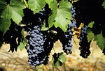 Grapes at Cape Winelands vineyard of Groot Constancia near Cape Town
