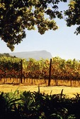 Cape Winelands vineyard at Groot Constancia Estate