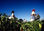 Cape Winelands field workers harvesting vegetable crop near Stellenbosch