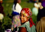 Cape Winelands field worker harvesting vegetable crop on farm near Stellenbosch