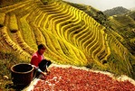 Red Yao nationality woman sorting peppers at Longji terraced fields near Ping'an village (Guilin area)