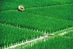 Rice paddy near Guangzhou in Guangdong province