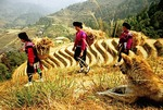 Red Yao women carrying rice straw on the Ping'an Terraced Fields at Longji