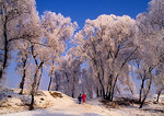 Hoar frost or ice-rimmed trees (wusong) on trees along Songhua River in Jilin City