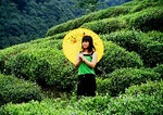 Young Hangzhou woman with parasol among Longjing tea bushes at Dragon Well Tea Village