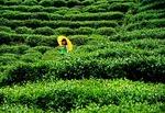Longjing tea bushes near Hangzhou at Dragon Well Tea Village farm