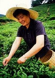 Hangzhou tea worker picking Longjing tea on farm at Dragon Well Tea Village
