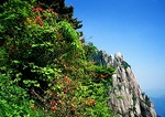 Huangshan (Yellow Mountain) rhododendrons blooming in late spring contrasts with granite of Heavenly Capital Peak