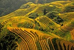 Longsheng terraces with ripened rice in late summer in Guangxi