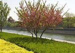 Imperial Palace Museum (Forbidden City) outer moat with spring blossums