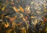 Suzhou's Lingering Garden (Liu Yuan) goldfish in pond