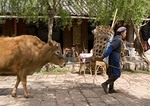 Farm woman leading cow through Baisha Village near Lijiang
